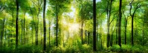 Wald Panorama mit frisch grünen Buchen, die mittig platzierte Sonne wirft schöne Strahlen